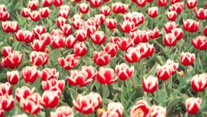 Tulips Computer Wallpaper