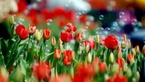 Tulips Desktop