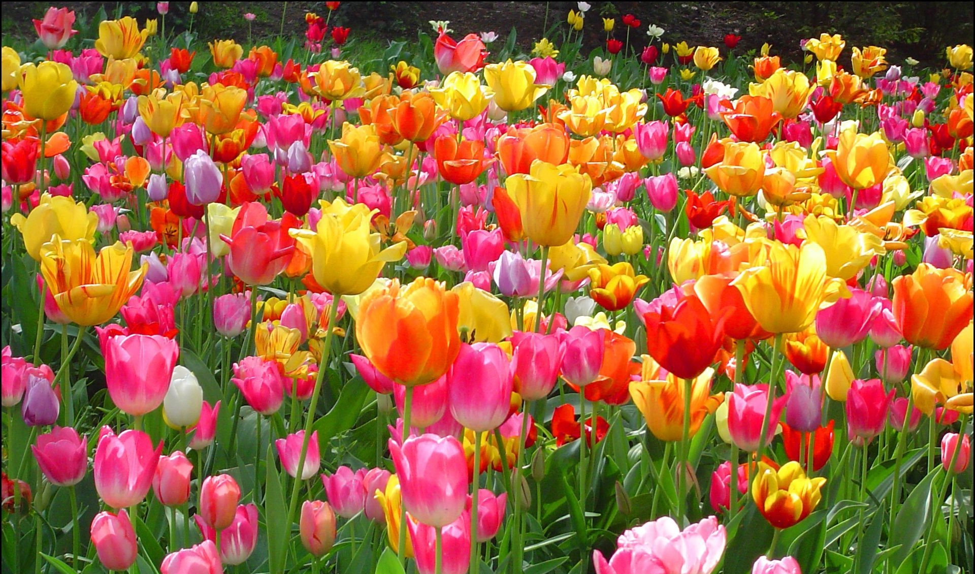 Tulips High Definition