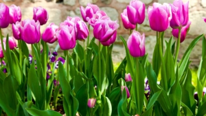 Tulips High Quality Wallpapers