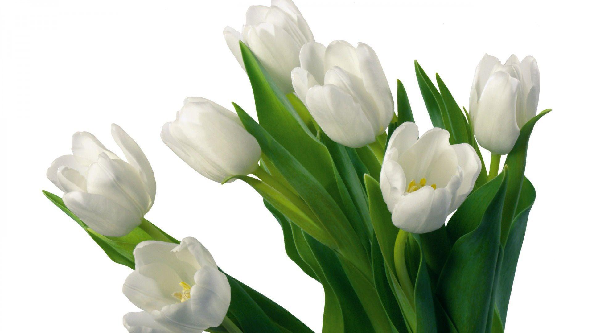 Tulips Photos