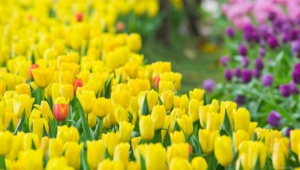 Tulips Wallpaper For Computer