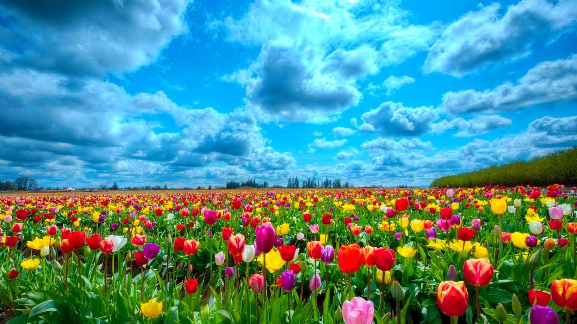 Tulips Wallpapers Hd