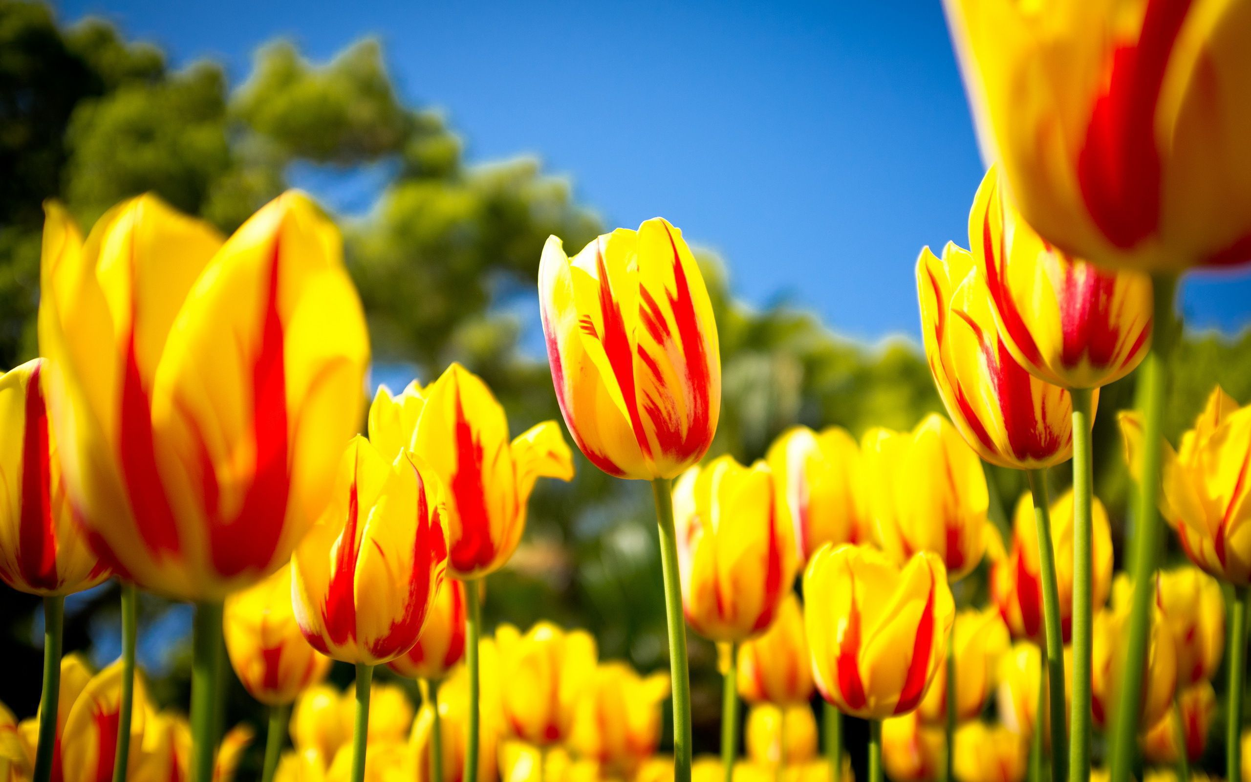 Tulips Wallpapers Hq