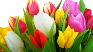 Tulips Full Hd