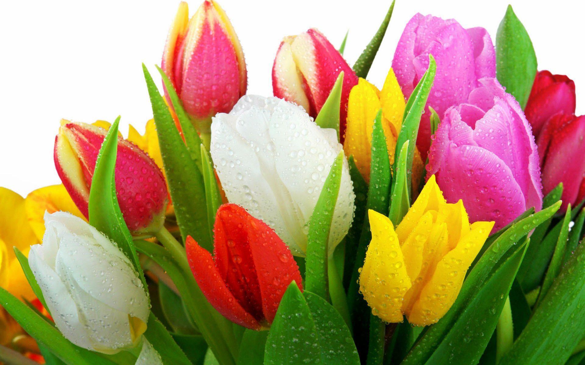 Tulips Full Hd