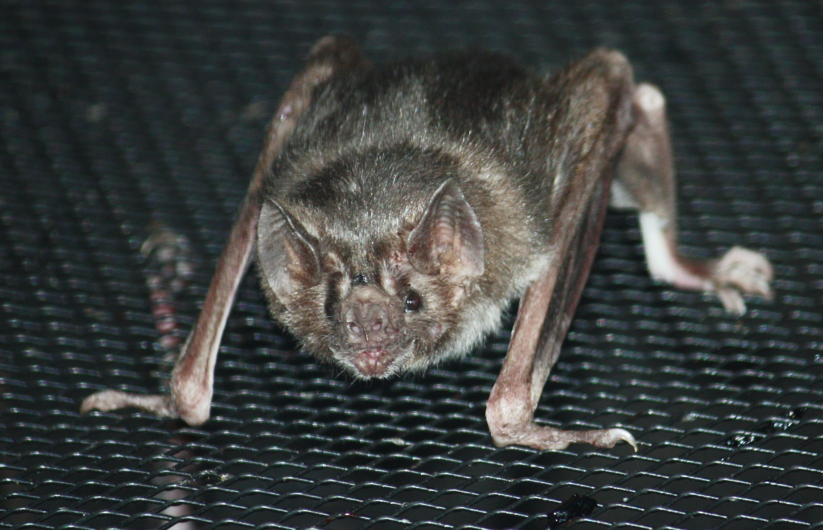 Vampire Bat Desktop