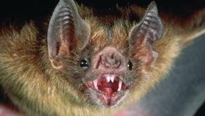 Vampire Bat Hd