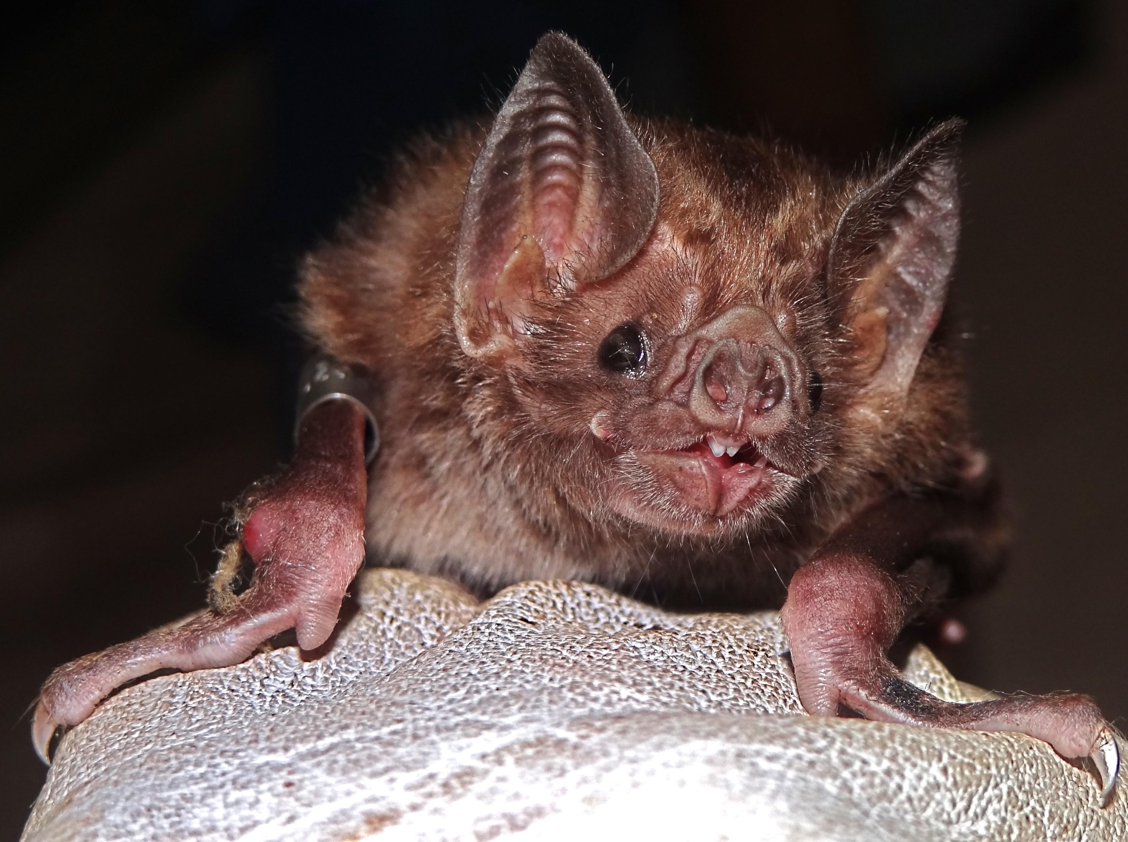 Vampire Bat Hd Background