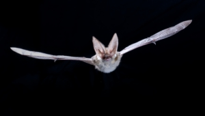 Vampire Bat Hd Wallpaper