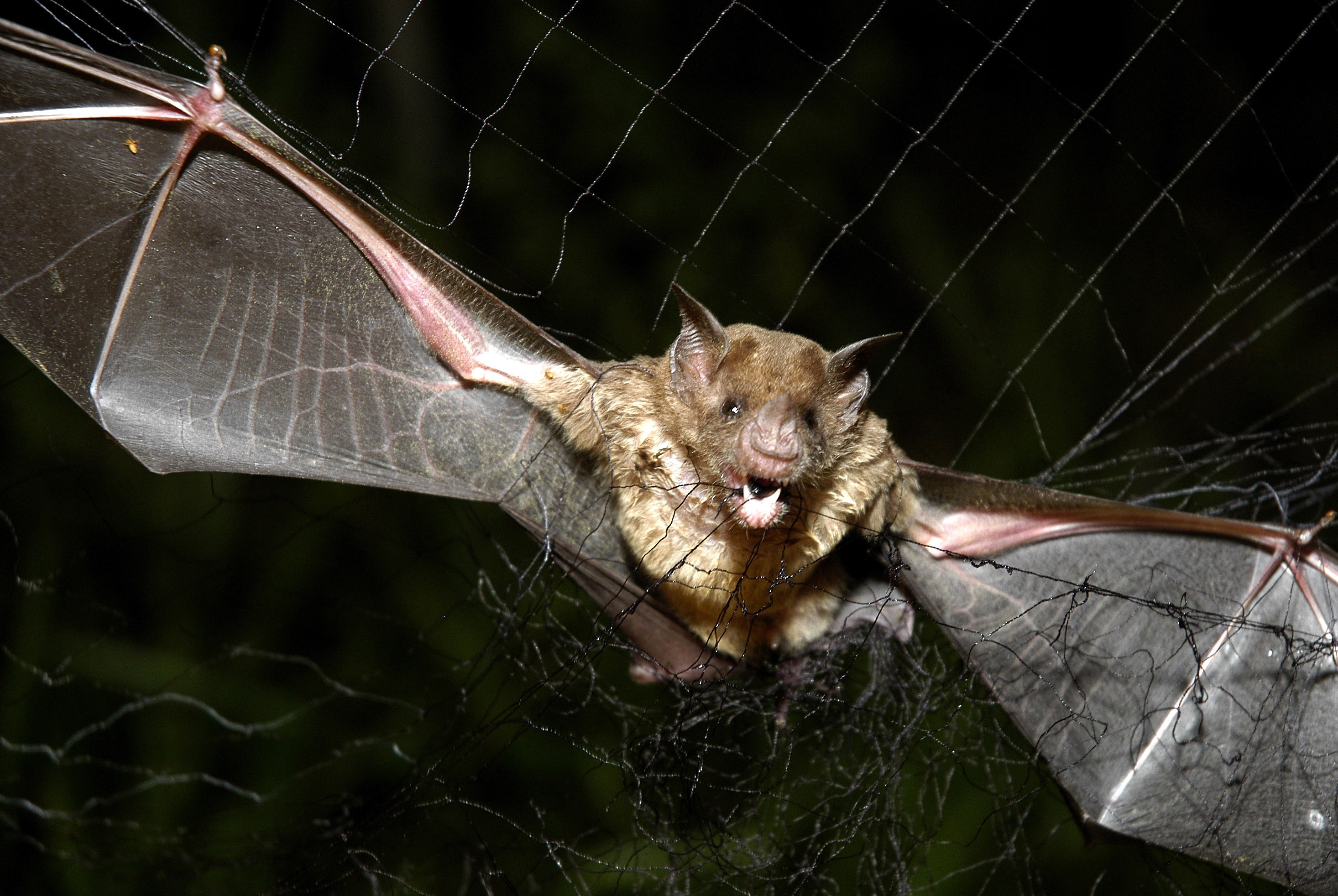 Vampire Bat High Quality Wallpapers