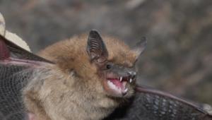 Vampire Bat Pictures