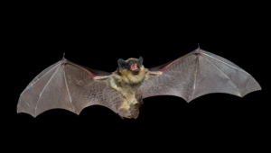Vampire Bat Wallpapers