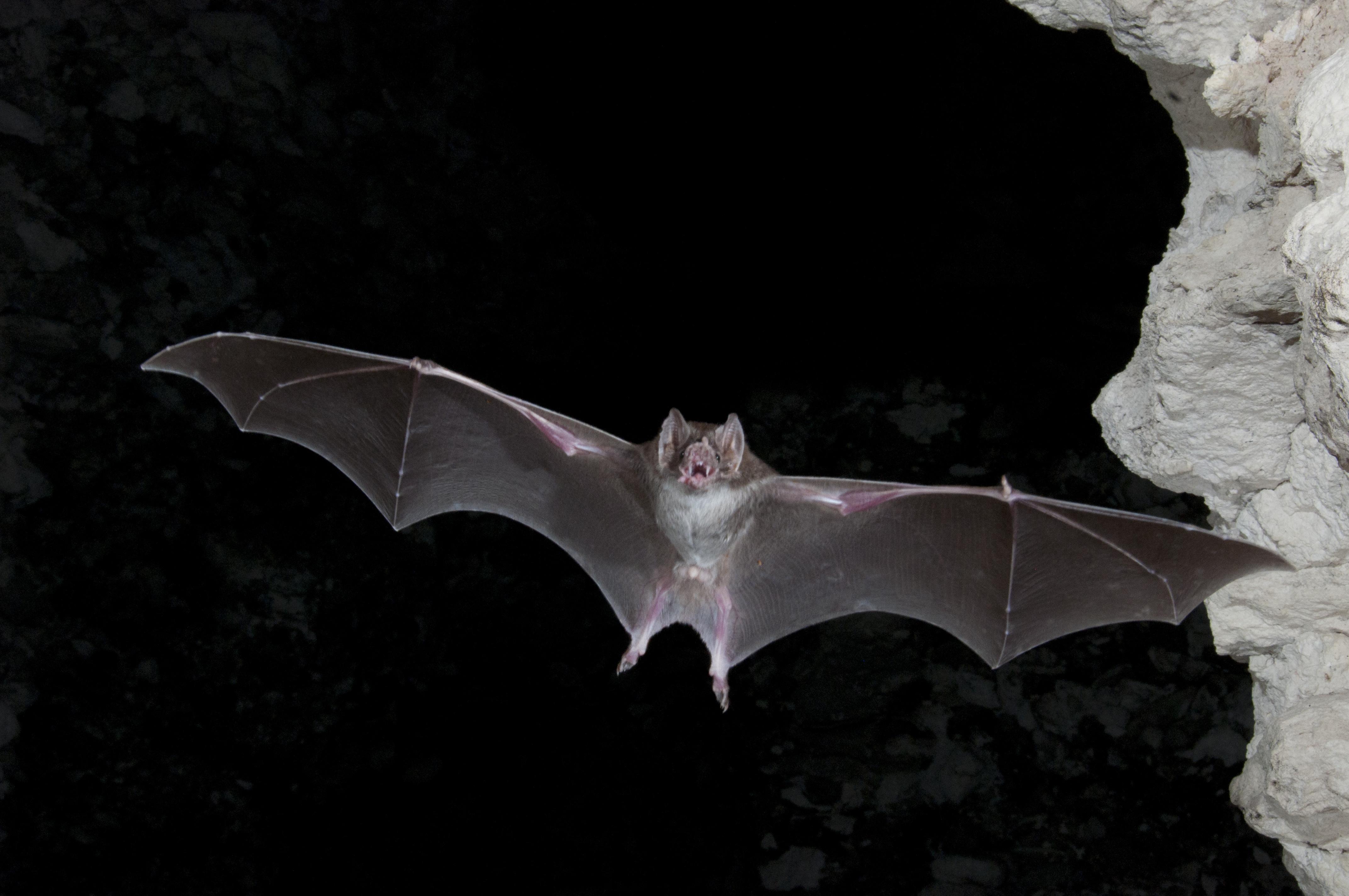Vampire Bat Wallpapers Hd