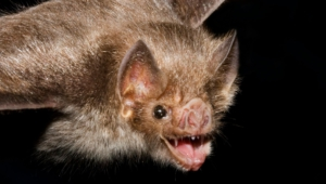Vampire Bat For Desktop