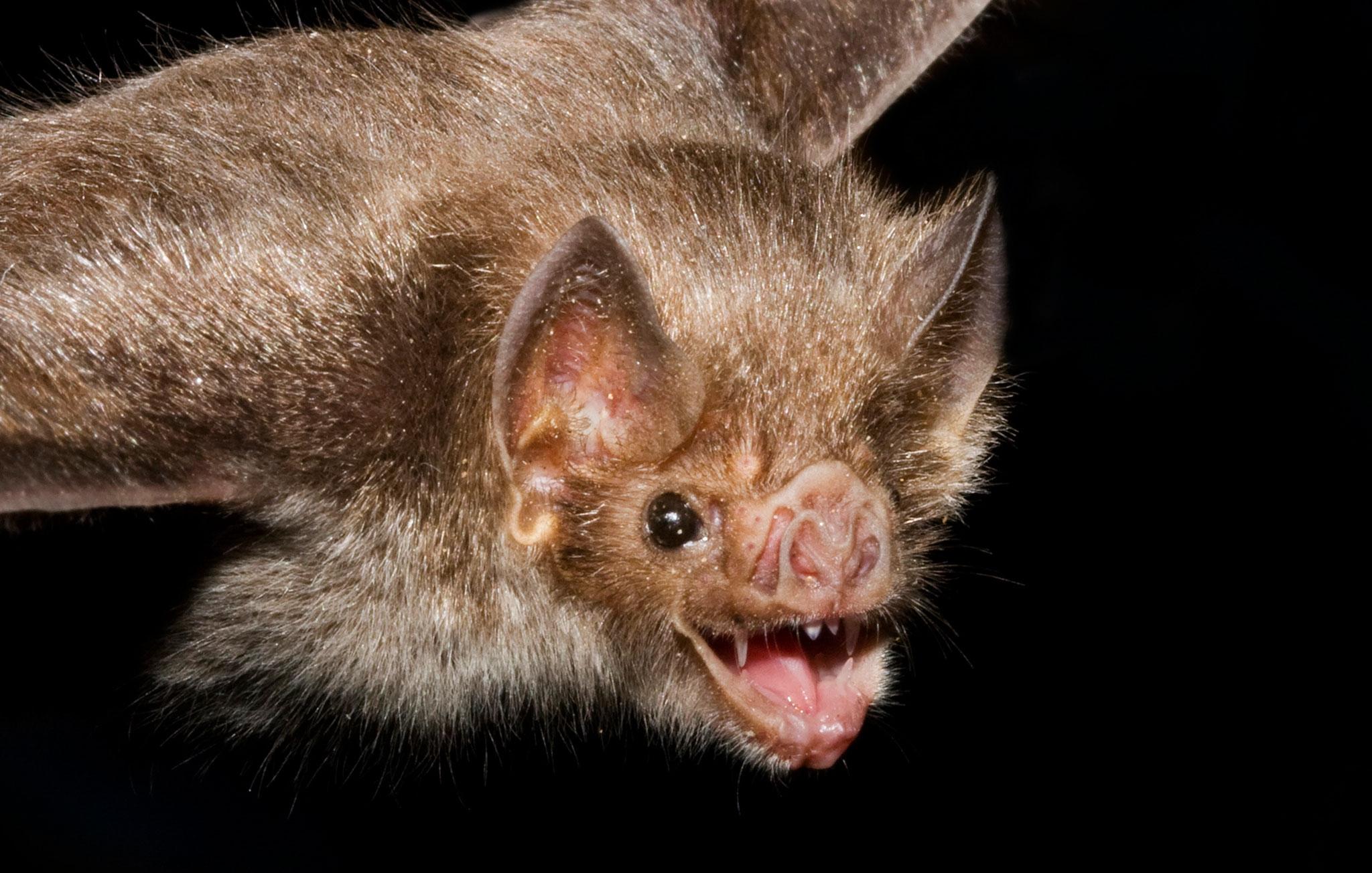 Vampire Bat For Desktop