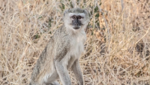 Vervet Monkey 4k
