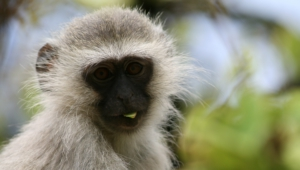 Vervet Monkey Desktop