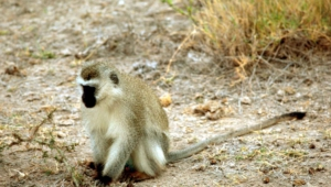 Vervet Monkey Desktop Wallpaper