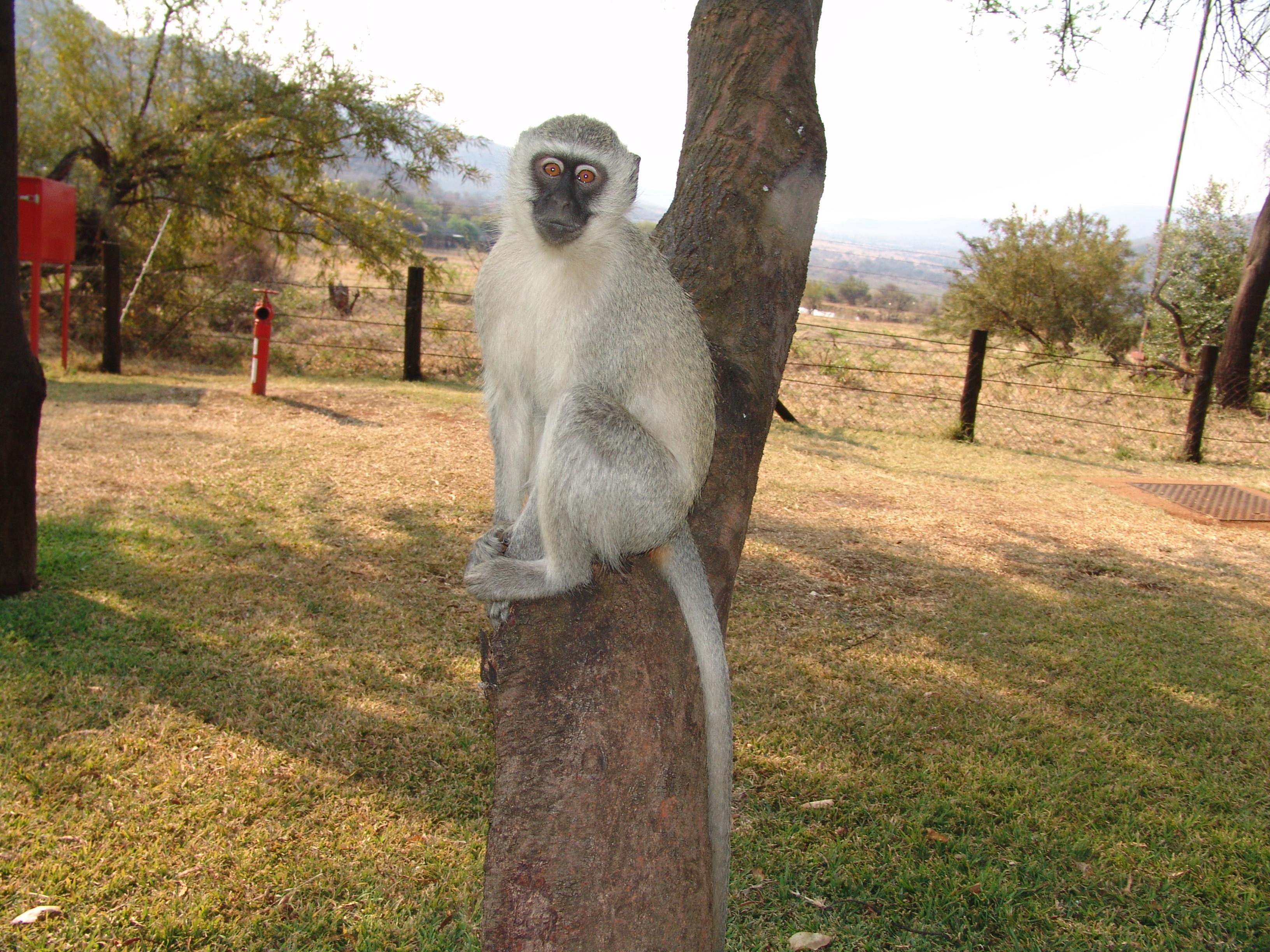Vervet Monkey Download Free Backgrounds Hd