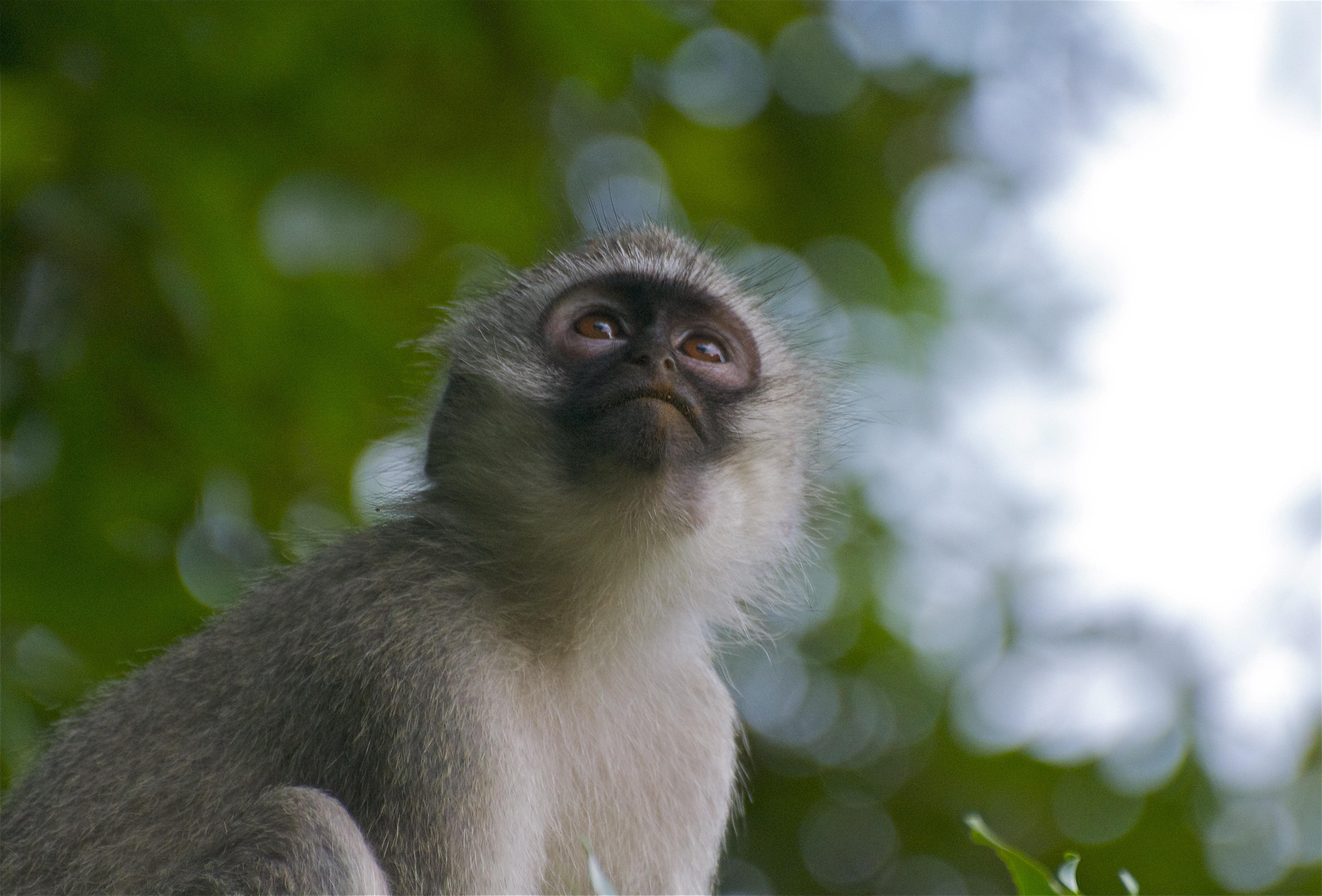 Vervet Monkey Download