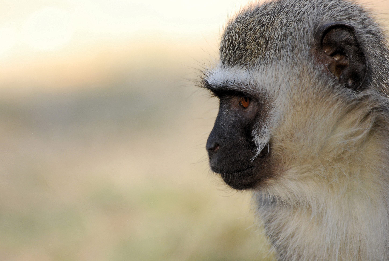 Vervet Monkey Free Download