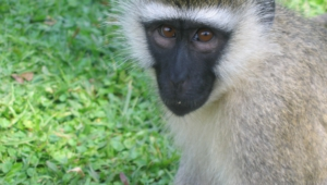 Vervet Monkey Hd