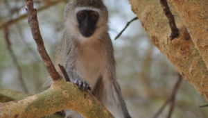 Vervet Monkey Hd Background