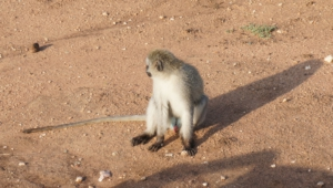 Vervet Monkey Hd Desktop