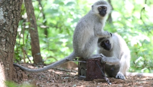 Vervet Monkey Hd Wallpaper