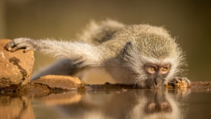Vervet Monkey Pictures