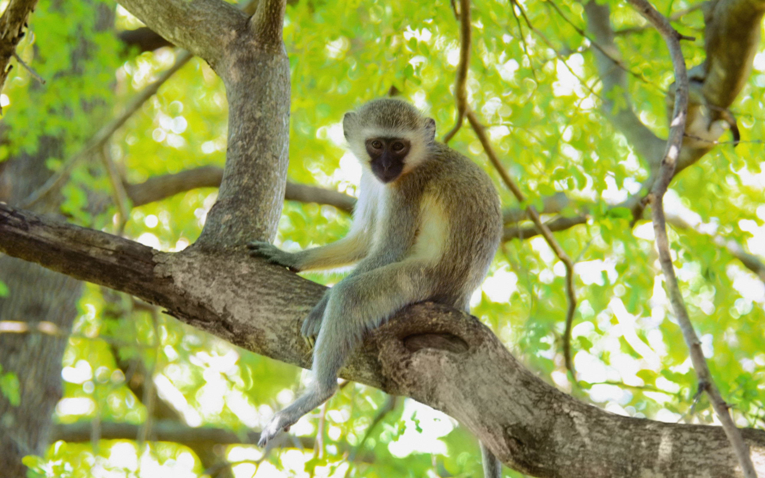 Vervet Monkey Wallpaper