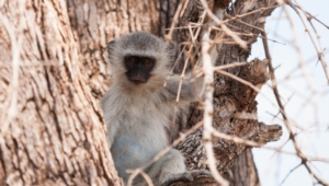 Vervet Monkey Wallpaper For Laptop