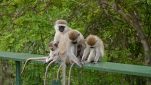 Vervet Monkey Wallpapers Hq
