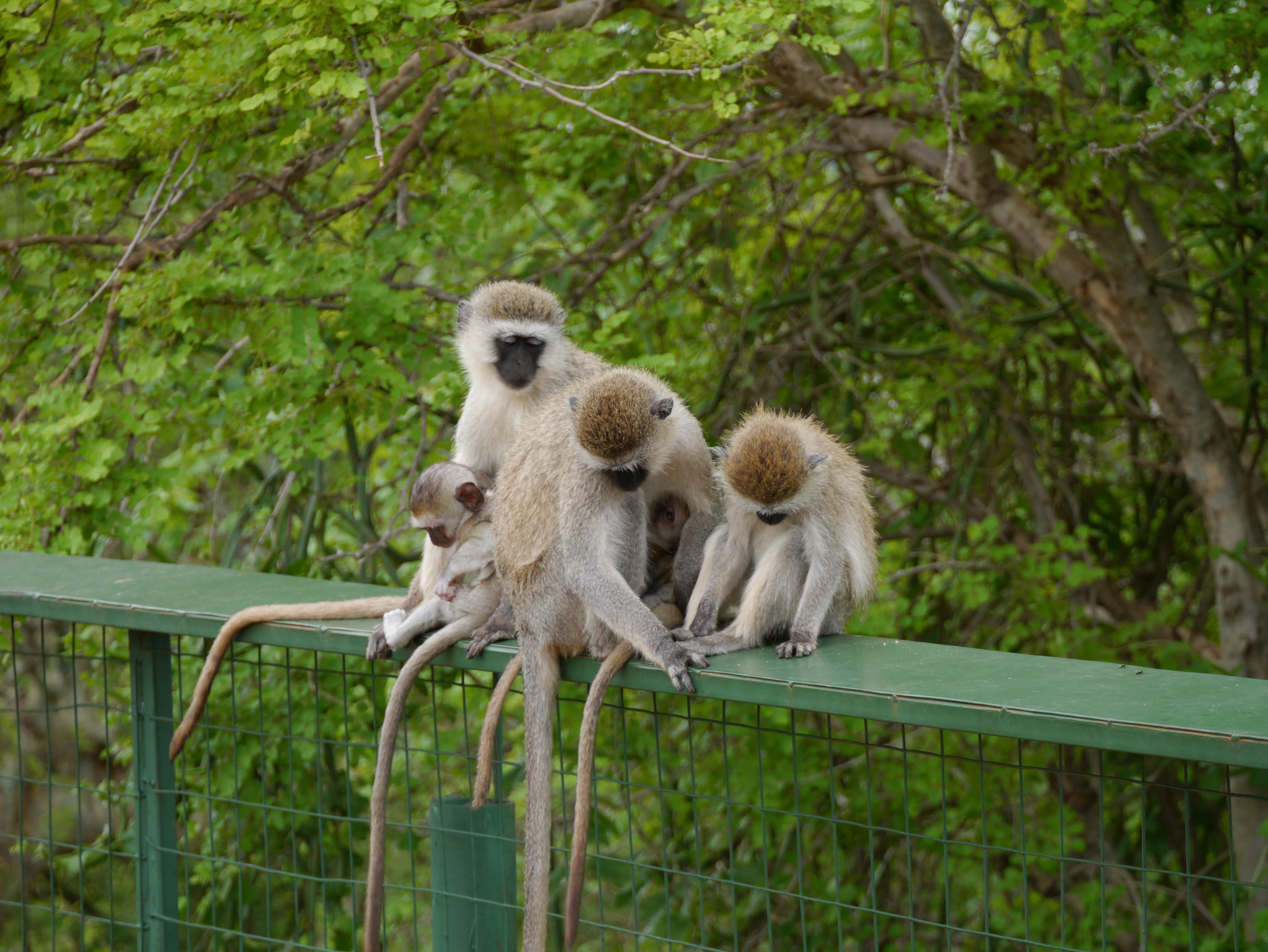 Vervet Monkey Wallpapers Hq