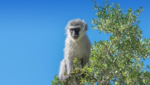Vervet Monkey Widescreen