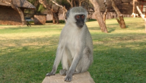 Vervet Monkey For Desktop Background