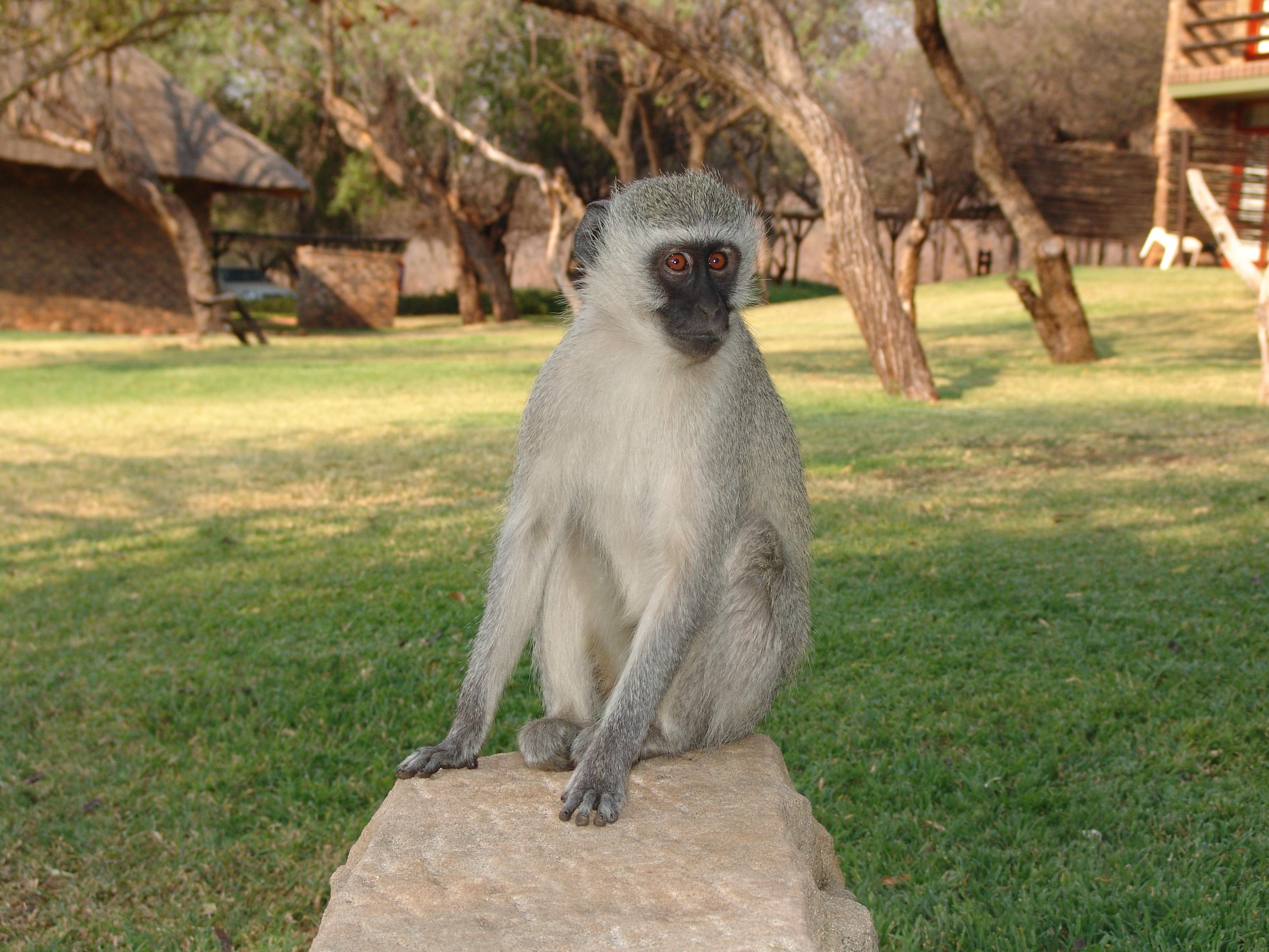 Vervet Monkey For Desktop Background
