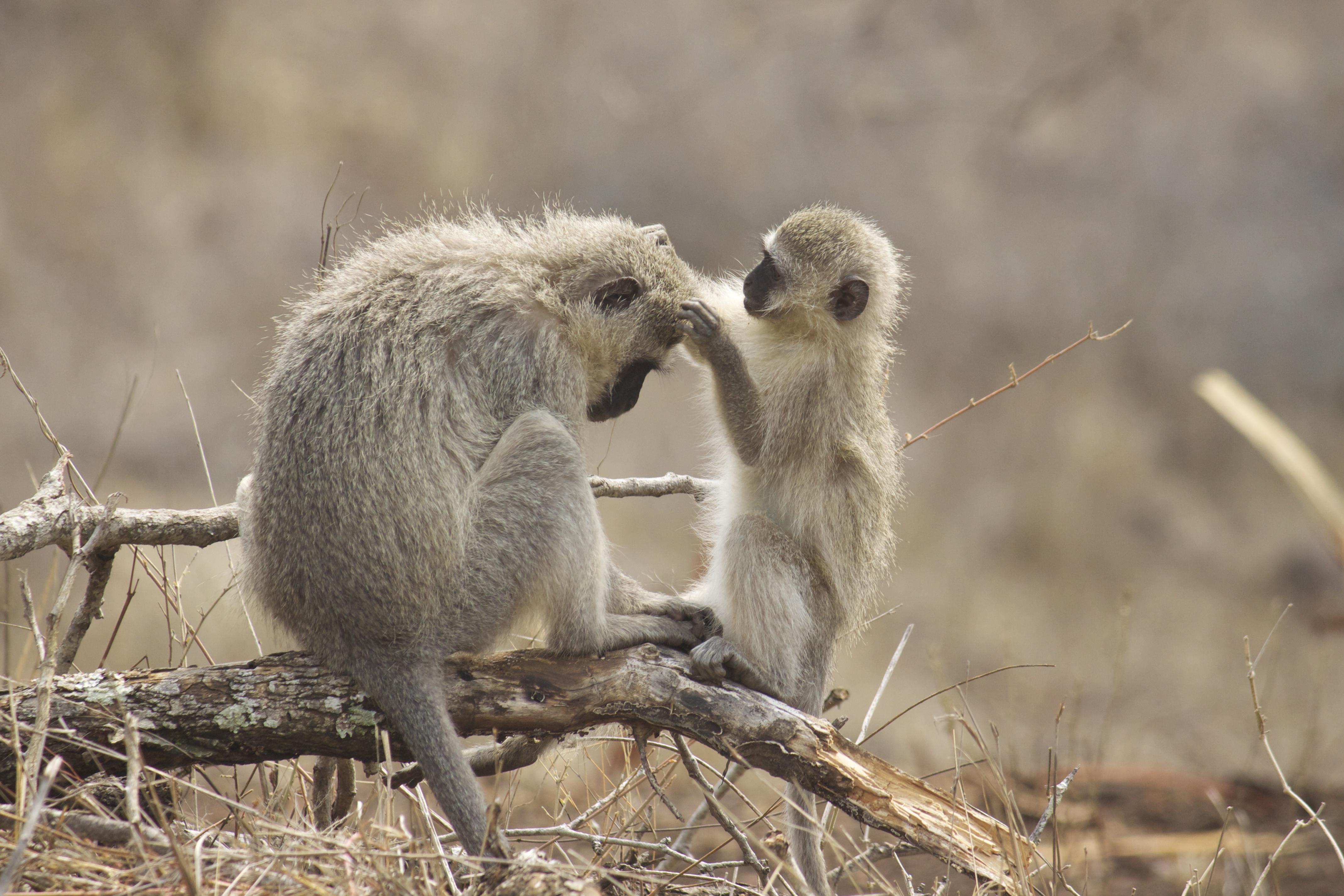 Vervet Monkey For Desktop