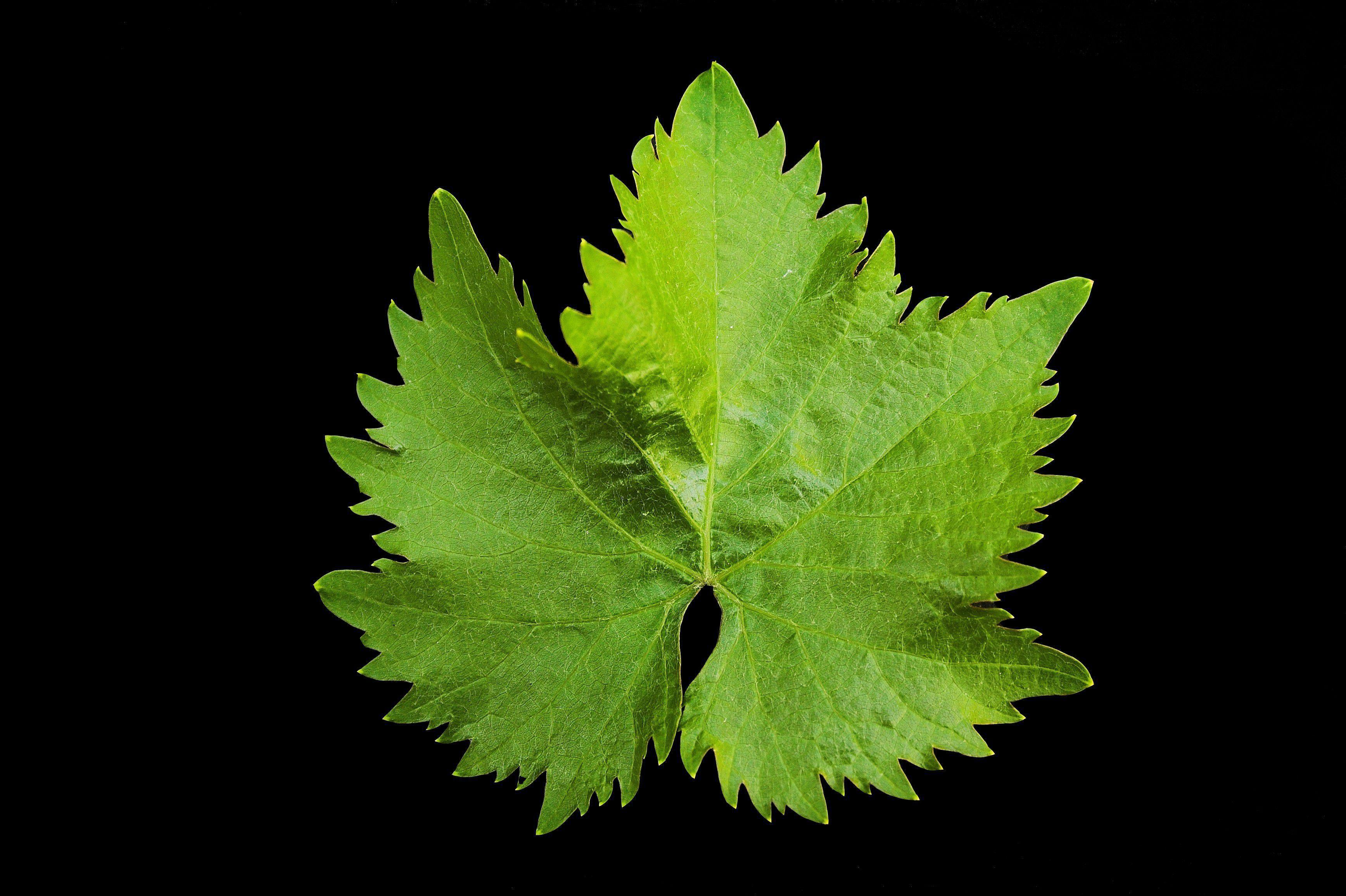 Vine Leaf Hd Desktop