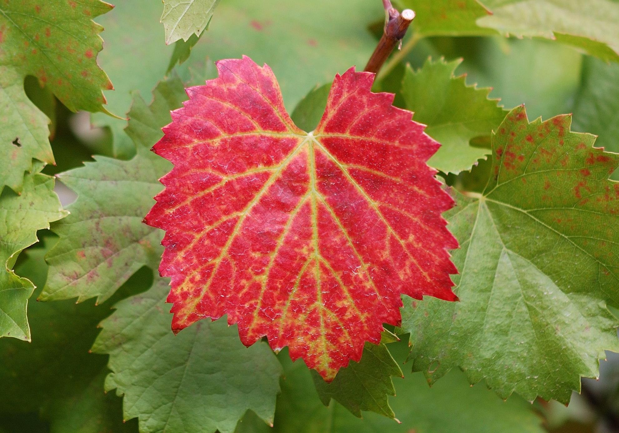 Vine Leaf High Definition Wallpapers