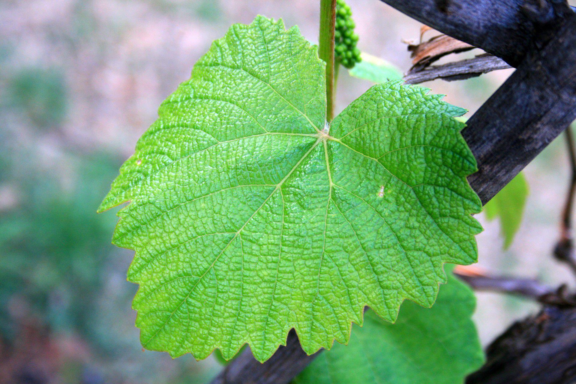 Vine Leaf Images