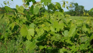 Vine Leaf Photos