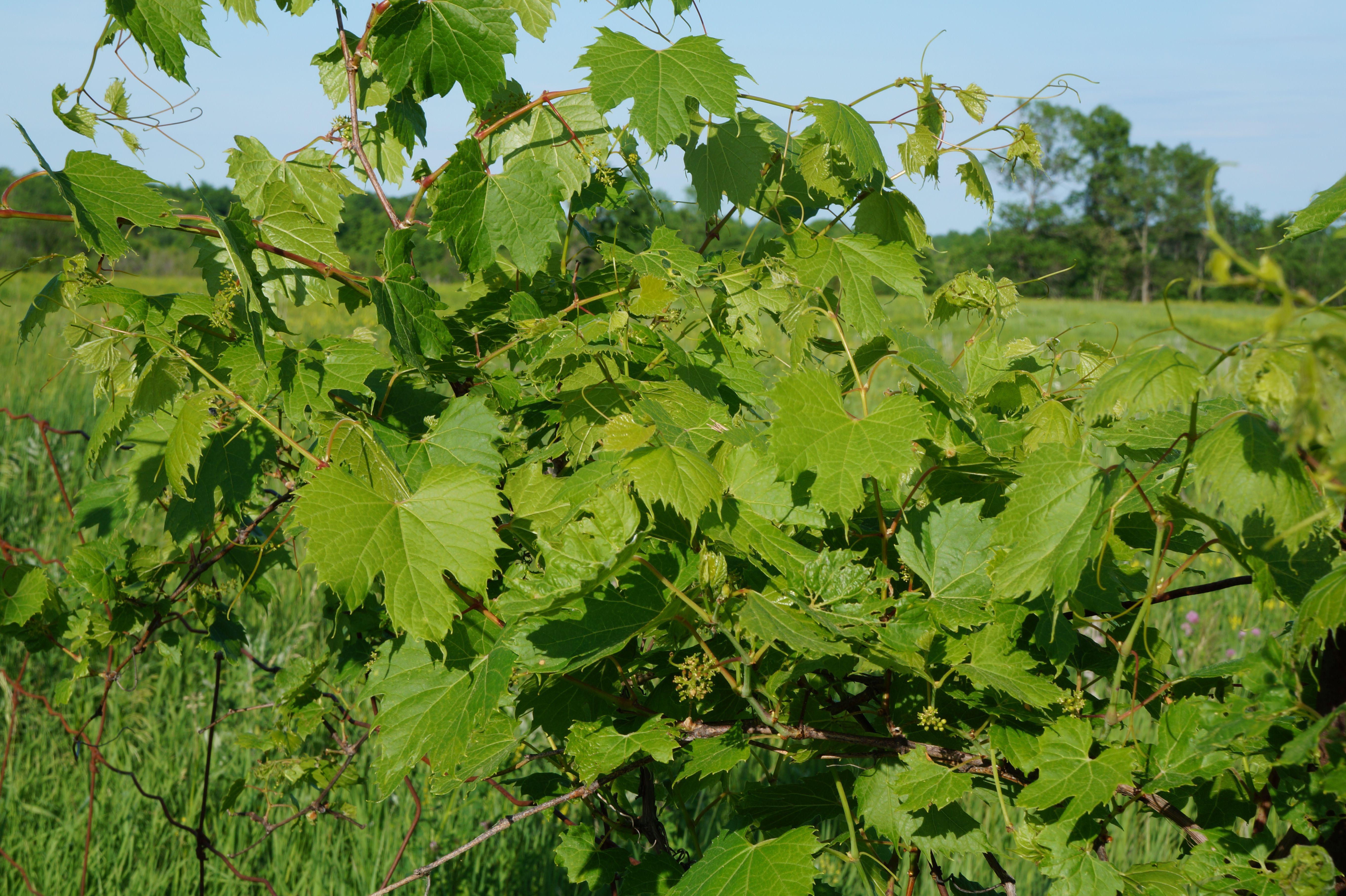 Vine Leaf Photos