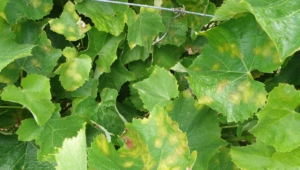 Vine Leaf Pictures
