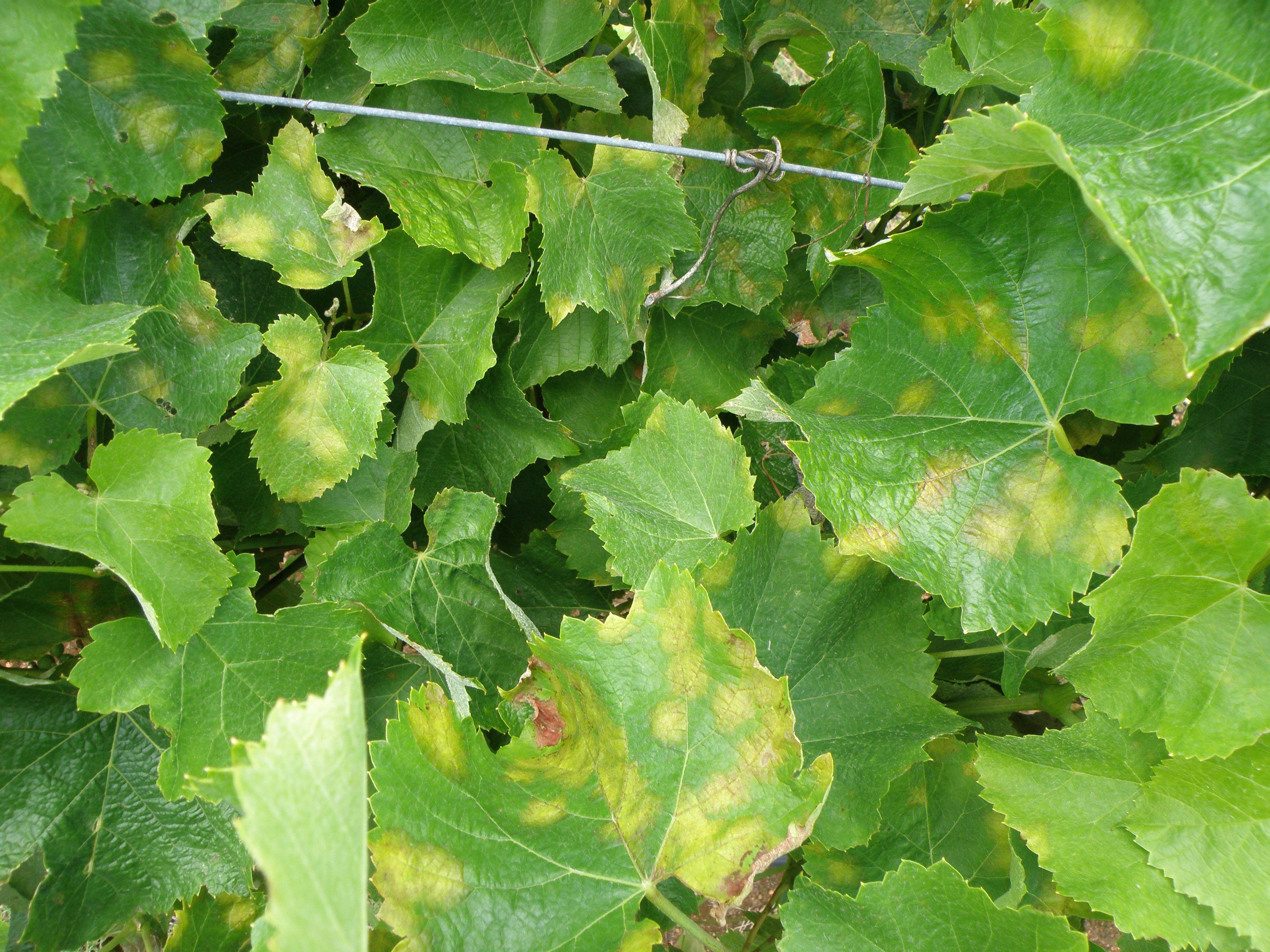 Vine Leaf Pictures