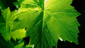 Vine Leaf Wallpapers