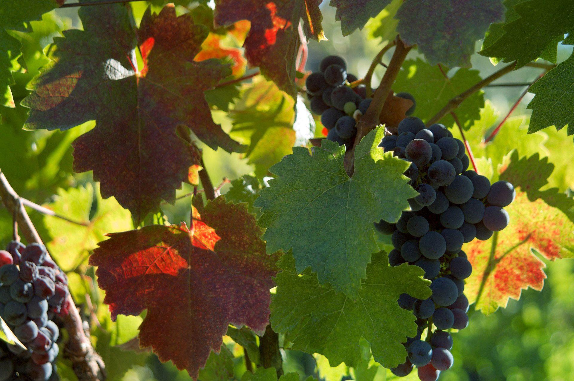 Vine Leaf Wallpapers Hd