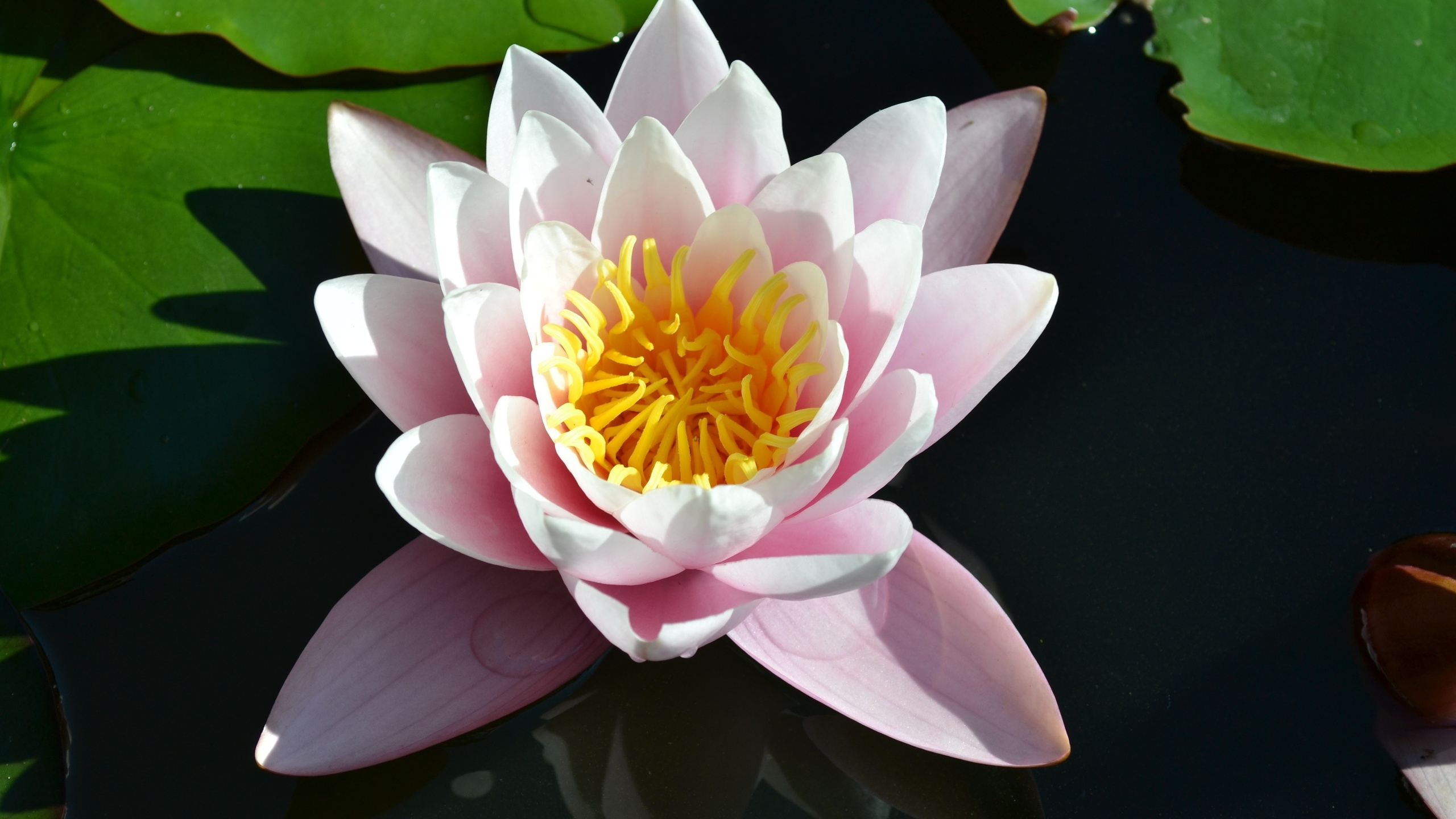 Water Lily Desktop