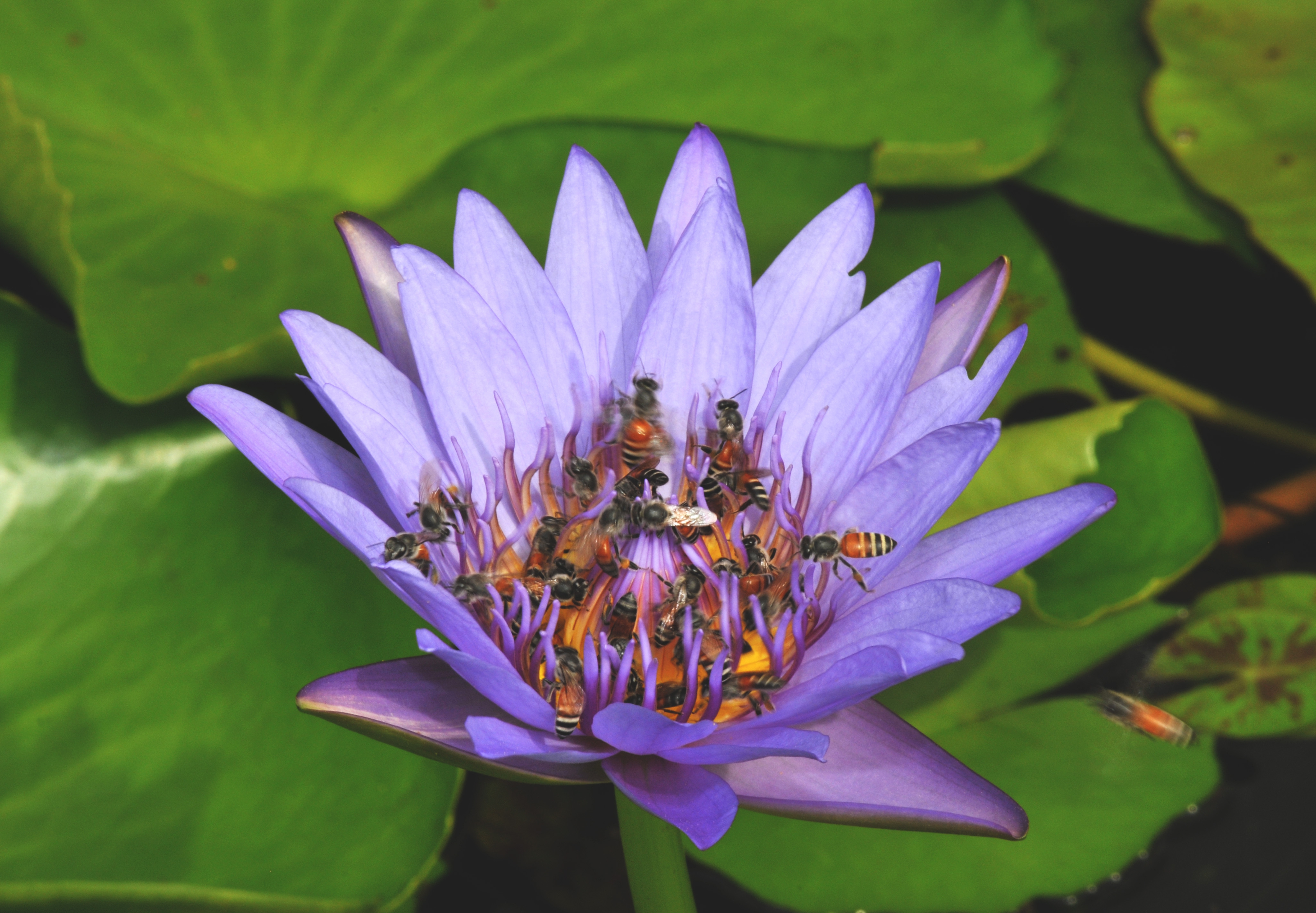 Water Lily Download